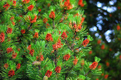 Nature, Plants, Pine Cone, Pine, Needles, Closeup