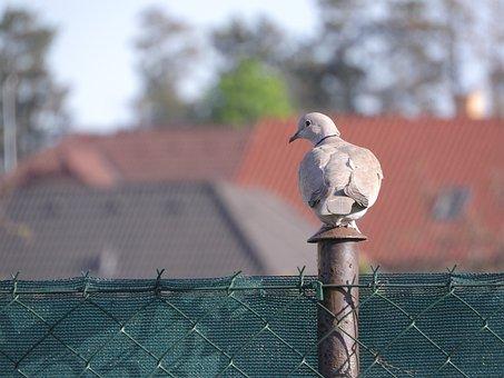Dove, Streptopelia Decaocto, Pigeon