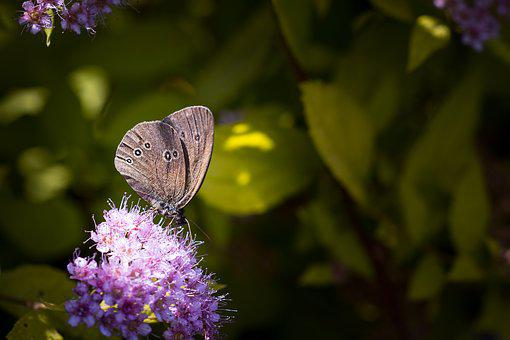 Nature, Butterfly, Chimney Sweep, Aphantopus Hyperantus