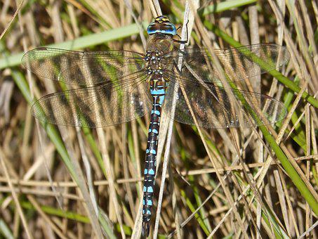 Dragonfly, Blue Dragonfly, Anax Imperator