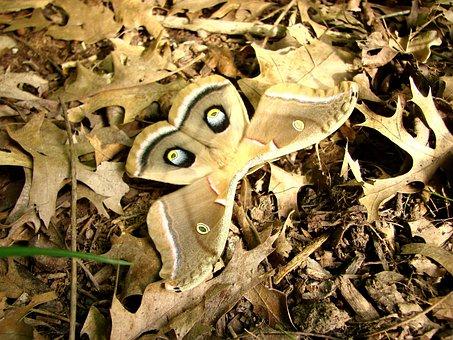 Moth, Antherea Polyphemus, Camouflage, Browns, Tan