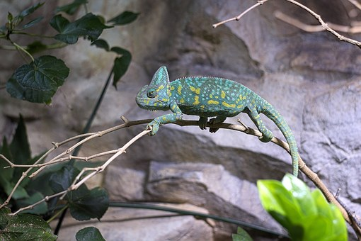 Chameleon, Zoo, Reptile, Close Up, Tropical, Color