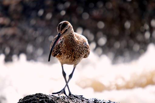 Birds, Senegal, Eurasian Curlew, Animal