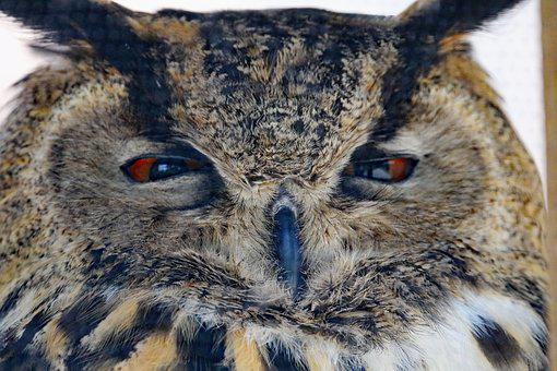 Eurasian Eagle Owl, Owl, Bird, Wildlife, Prey, Eurasian