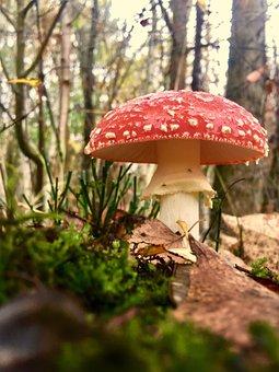 Fly Agaric, Mushroom, Mushroom Cultivation