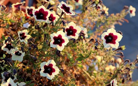 Petunia, Flower, Garnet-red, White
