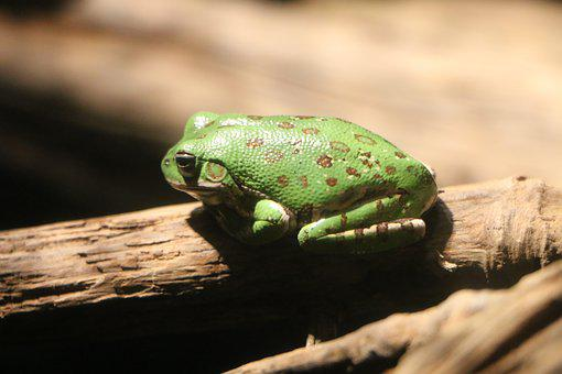Frog, Sitting, Green, Nature, Animal, Wildlife, Outdoor