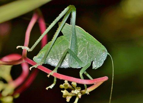 Grasshopper, Katydid, Nymph, Katydid Nymph, Camouflage