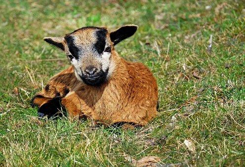 Goat, Domestic Goat, Kid, Lying, Pasture, Creature