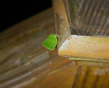 Leaf Insect, Walking Leaf, Bug, Phylliidae, Camouflage