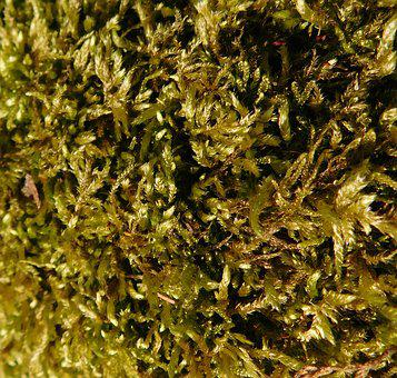 Moss, Exposed, In Sunlight, Plant, Wild Plant, Close Up
