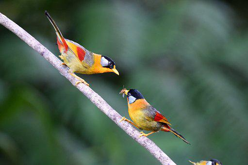 Silver-eared Mesia, Birds, Nature