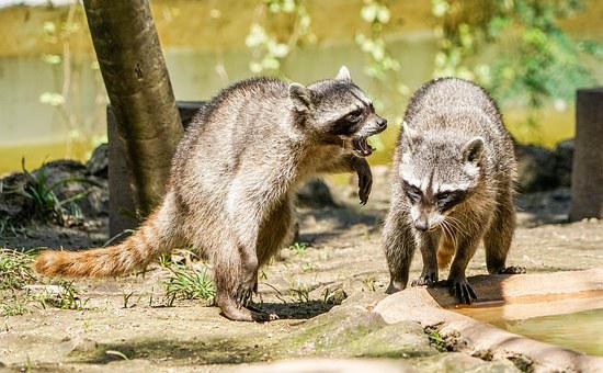Raccoons, Playing, Animal, Critter, Nature, Nocturnal