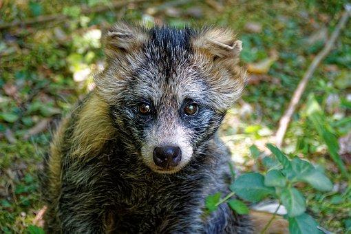 Animal, Marten, Raccoon Dog, Tanuki, Enok, Obstfuchs
