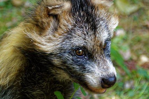 Raccoon Dog, Tanuki, Enok, Fruit Fuchs, Fuchs, Dog