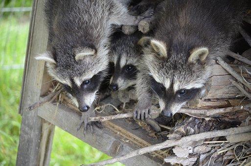 Raccoon, Face, Sweet, Furry, Eyes, Tank Buster