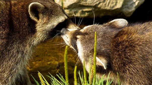 Raccoon, Animal, Mammal, Nature, Wildlife, Racoon, Coon