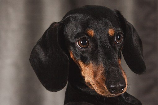 Dog, Dachshund, Studio, Animal, View