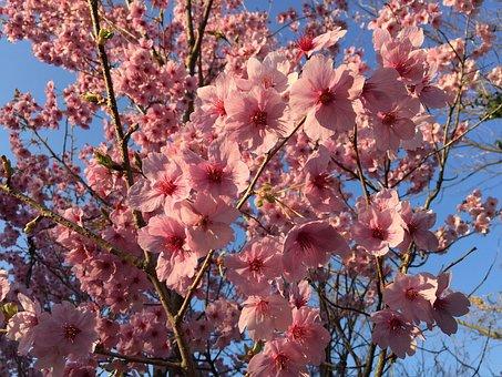 Sunlight Sakura, Cherry, Spring, Spring Flowers