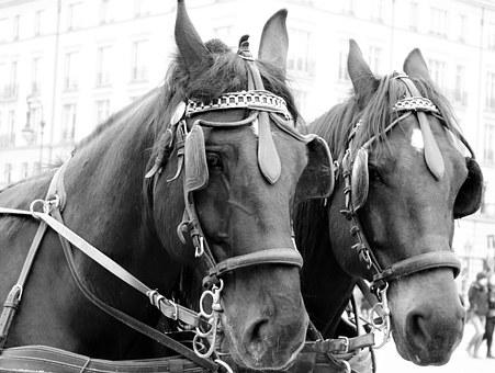 Horses, Tourism, Horse Heads, Black And White