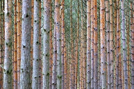 Then, Tree, Forest, Dense, Spruce, Pine, Landscape
