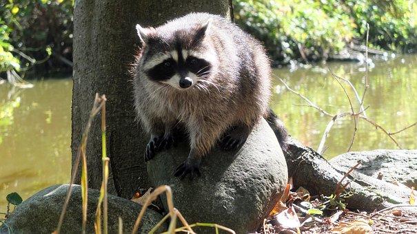 Raccoon, Vancouver, Canada, Stanley Park