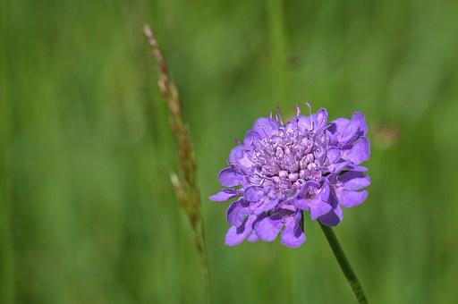 Field Scabious, Plant, Purple, Pointed Flower, Violet
