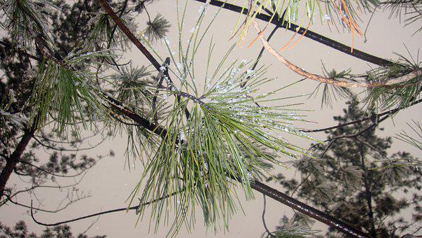 Snow, Pine, North-east, Frost, Branch, Winter