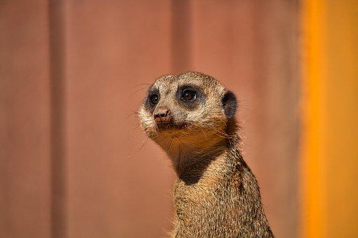 Meerkat, Animal, Nature, Zoo