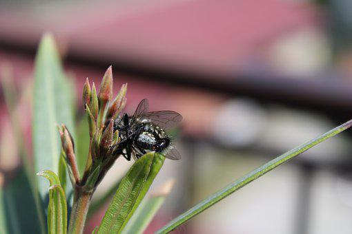 Insect, Nature, Green Bottle Fly, Oleander