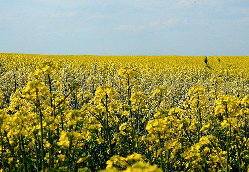 Field, Rapeseed, Flowering, Yellow