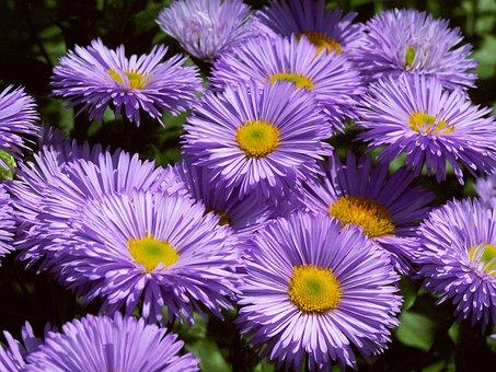 Gorgeous Spokes, Erigeron Speciosus, Purple Flowers
