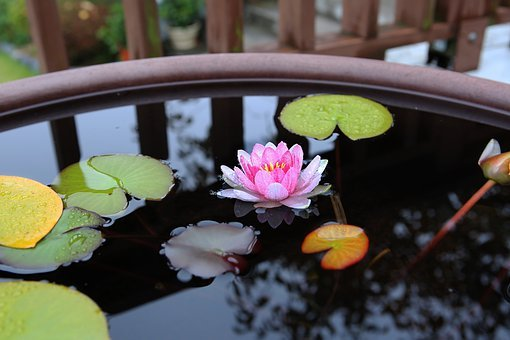 Lotus, Water Flyer, Republic Of Korea