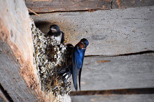 Barn Swallow, Schwalbe, Barn Swallows, House Swallow