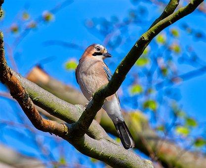 Bird, Nature, Wing, Birds, Plumage, Feather, Jay