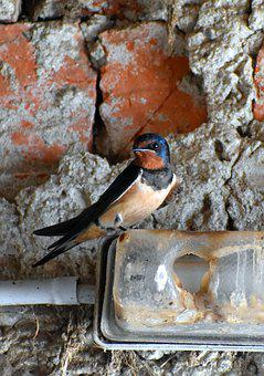 Barn Swallow, Schwalbe, Barn Swallows, House Swallow