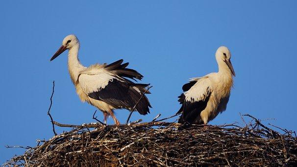 Stork, Storks, Migratory Birds, Bird, Nature