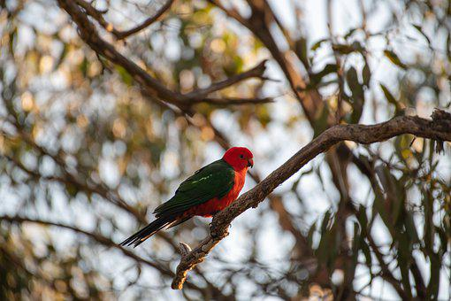 Australian King Parrot, Alisterus Scapularis, Parrot