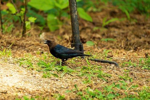 Male Cowbird, Cowbird, Buffalo Bird, Parasite Bird