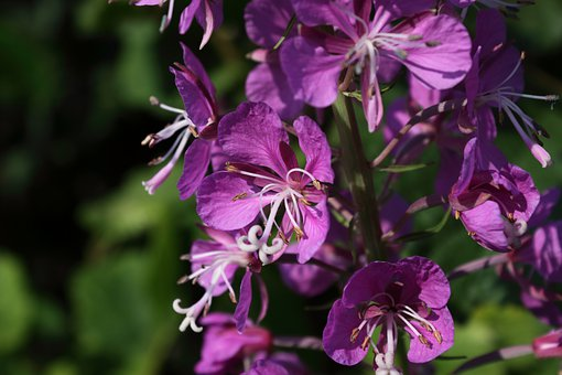 Fireweed, Rose Bay Willow Herb, Chamaenerion