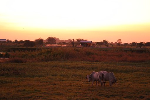 Cow, Sunset, Cattle, Meadow, Livestock, Cambodia