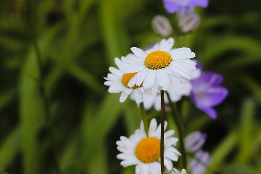 Daisies, Flower Meadow, Illuminated