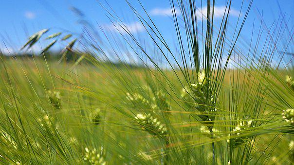 Agriculture, Cereal, Food, Green, Field, Plants