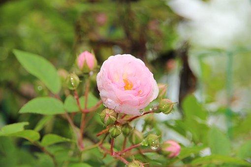 Rose, Flower, Nature, Closeup, Plant, Morning, Rosa