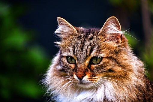 Animal, Domestic, Fur, Feline, Cat