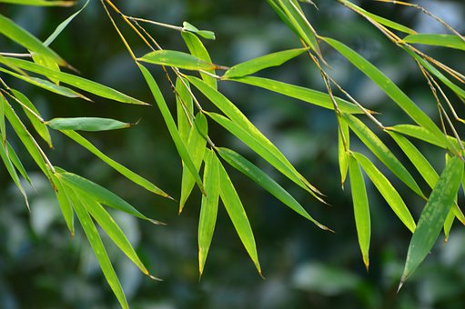 Bamboo, Leaves, Green, Nature, Plant