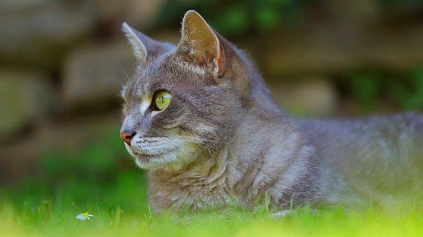 Cat, Portrait, Domestic Cat, Pet, Animal, Cat's Eyes