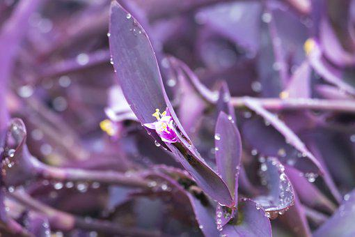Plant, Purple, Heart, Tradescantia, Texas, Dew, Water