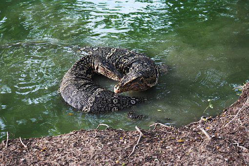 Varanus Salvator, Asian Water Monitor Lizard