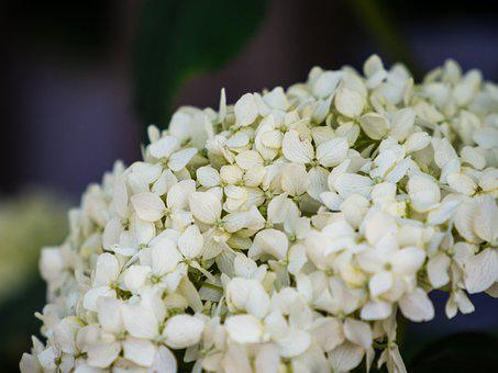 Flower, Flowering, Cudgel, Rosette, White, Background